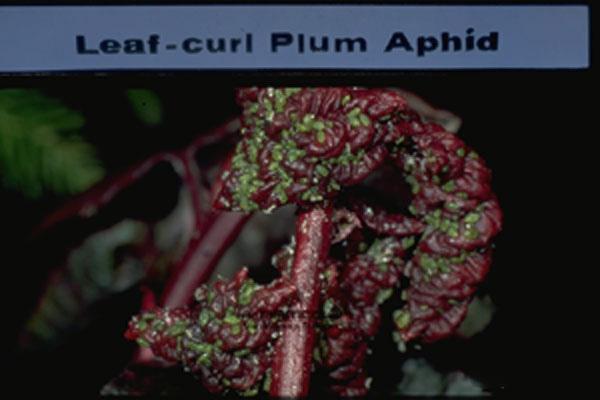 Leaf Curl Plum Aphid