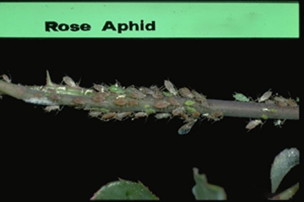 Rose Aphid