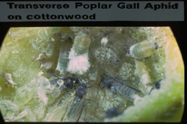 Poplar Gall Aphid