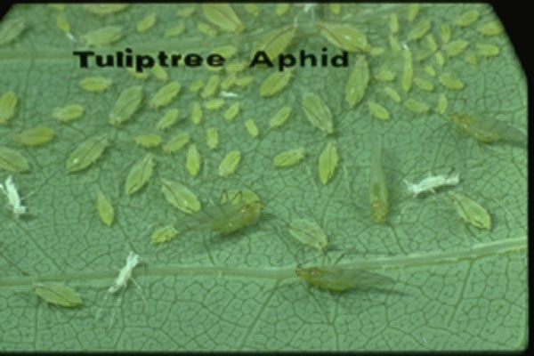 Tuliptree Aphid