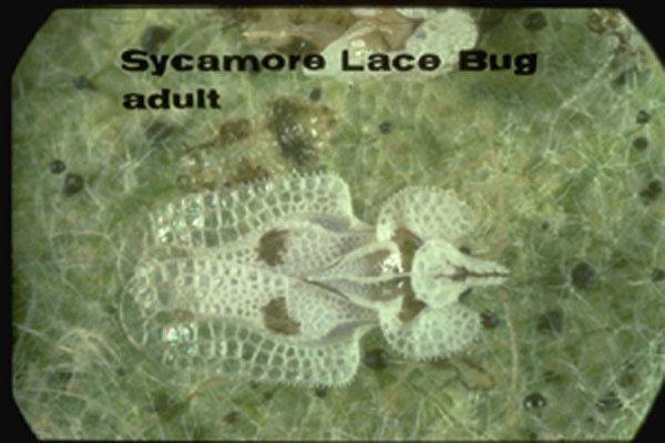 Sycamore lace bug – eastern species