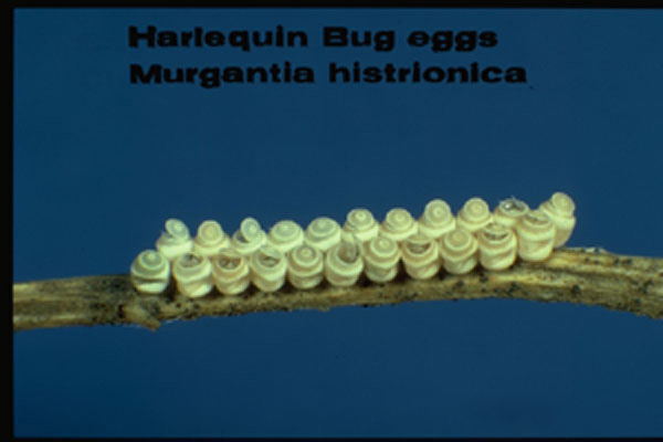 Harlequin Stink Bug