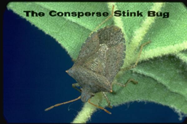 Consperse stinkbug