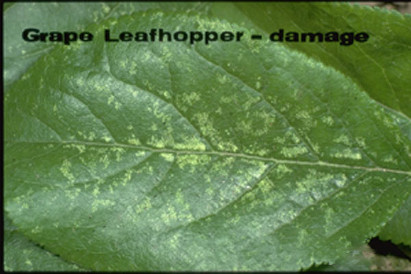 Grape leafhopper