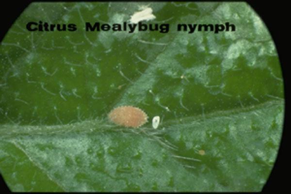 Citrus Mealybug