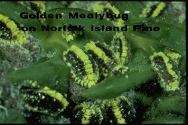 Golden Mealybug