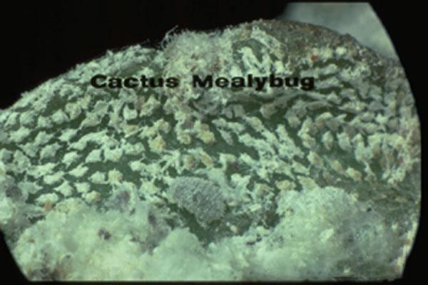 Cactus mealybug