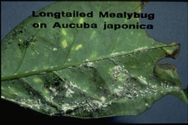 Long-tailed Mealybug