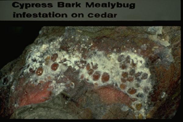 Cypress Bark Mealybug