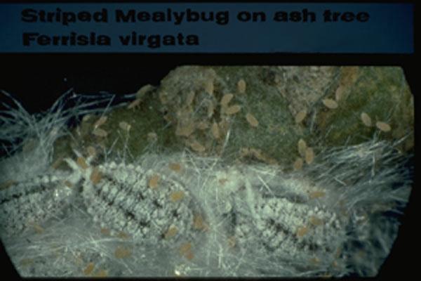 Striped Mealybug
