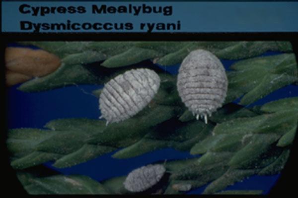 Cypress Mealybug