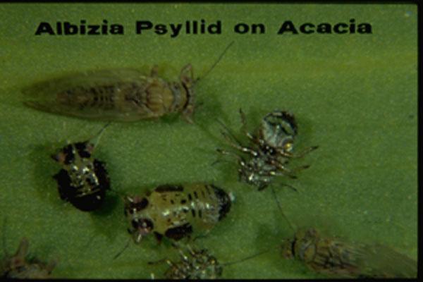 Acacia Psyllid