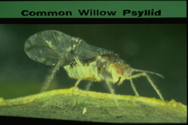 Willow Psyllid