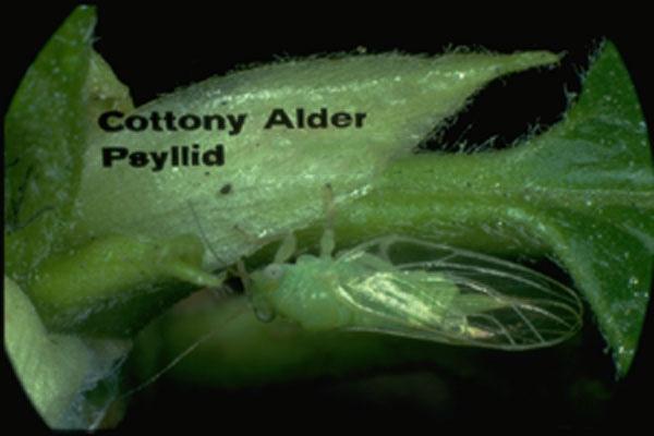 Cottony ash psyllid