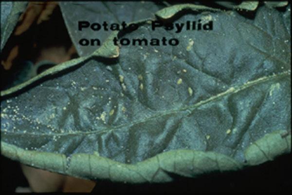 Tomato Psyllid