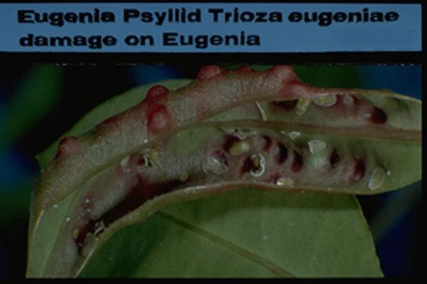 Eugenia psyllid