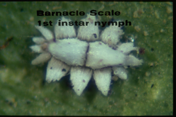 Barnacle Scale