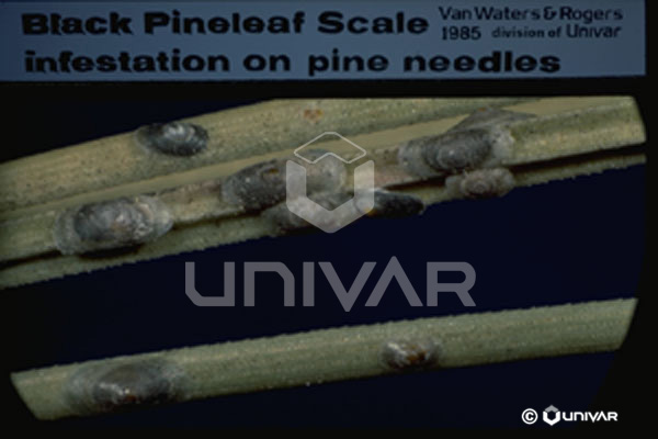 Black Pineleaf Scale