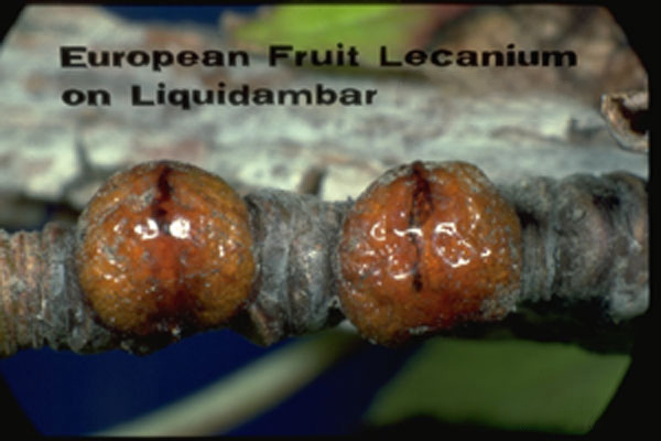 European Fruit Lecanium