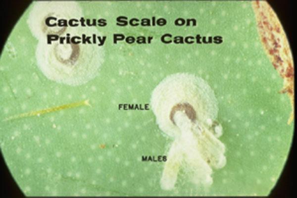 Cactus Scale
