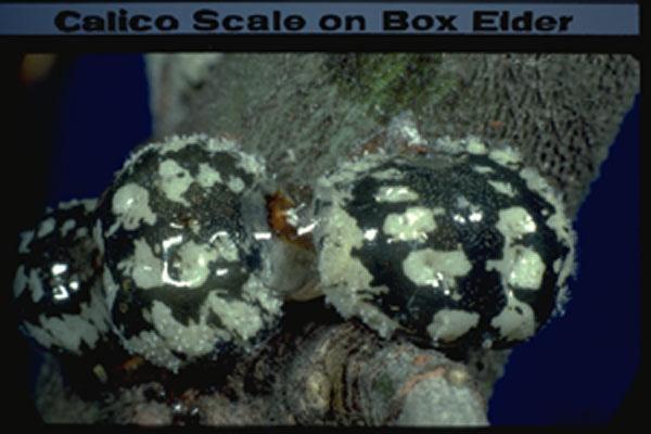 Calico Scale