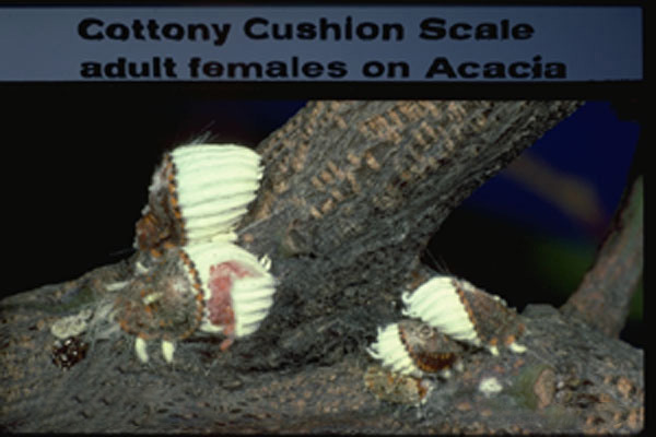 Cottony Cushion Scale