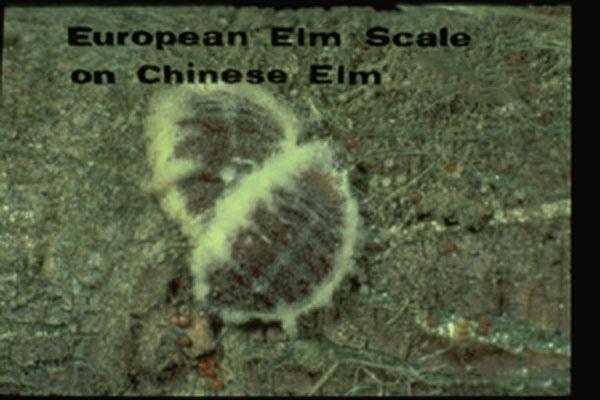 European Elm Scale