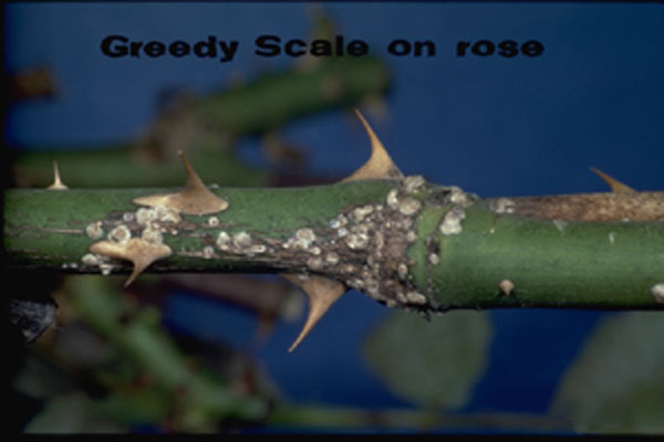 Greedy Scale