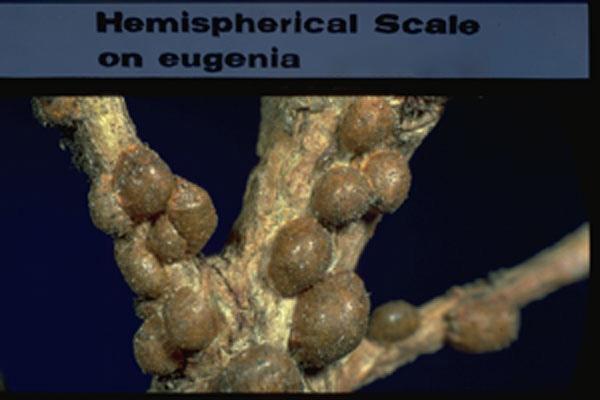 Hemispherical Scale