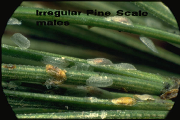 Irregular Pine Scale