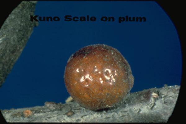 Kuno Scale