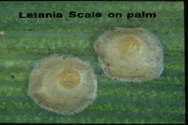 Latania Scale