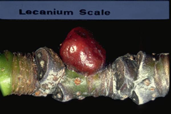 Oak lecanium