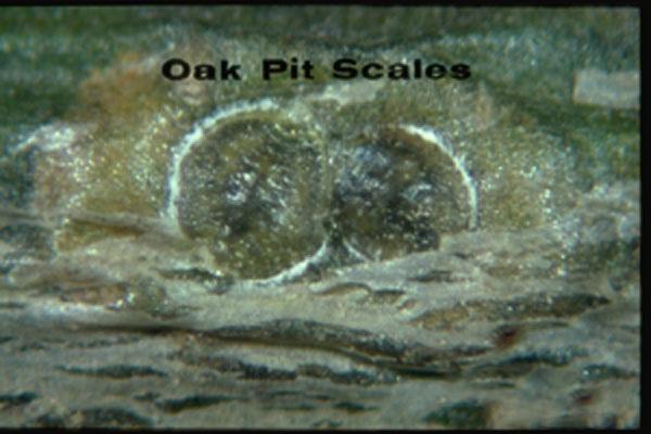 Oak Pit Scale