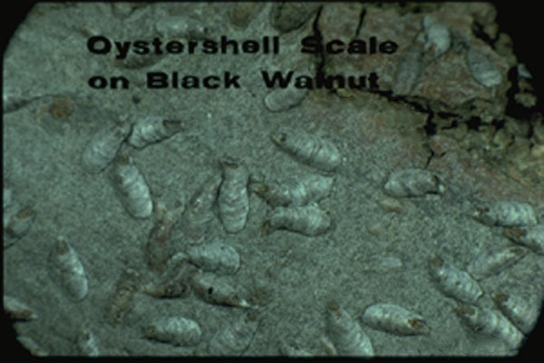 Oystershell Scale