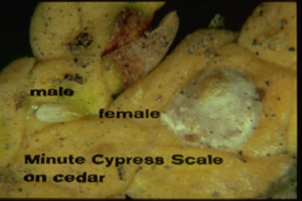 Minute Cypress Scale