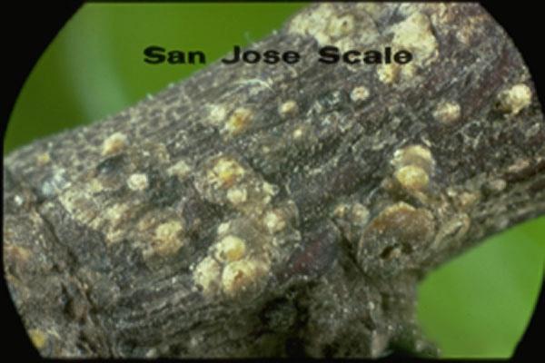 San Jose Scale