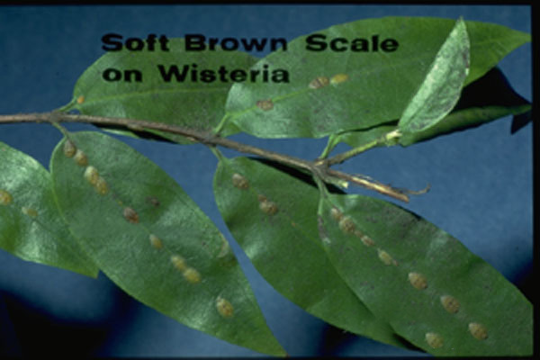 Brown Soft Scale