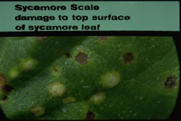 Sycamore Scale
