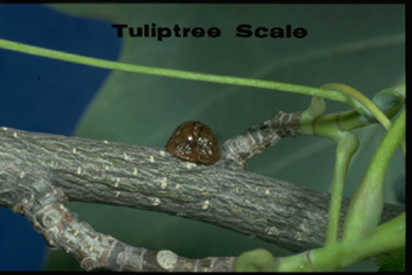 Tulip Tree Scale