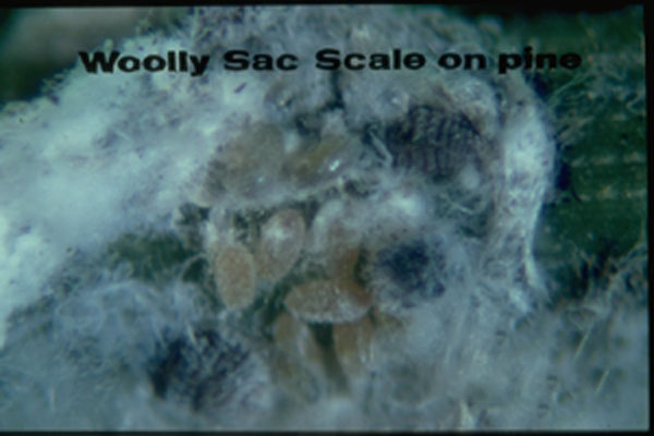 Wooly Pine Scale