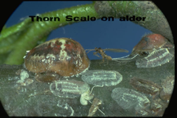 Thorn Scale