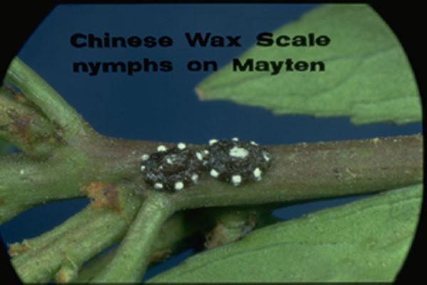 Wax Scale