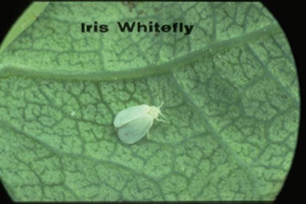 Iris Whitefly