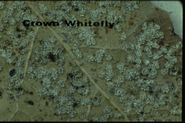 Crown Whitefly