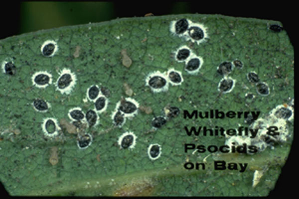 Mulberry whitefly