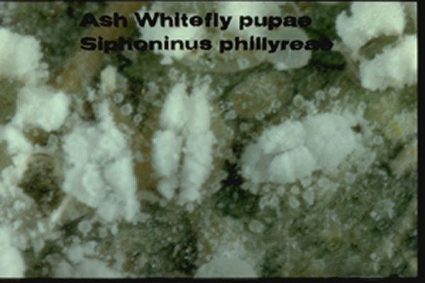 Ash Whitefly