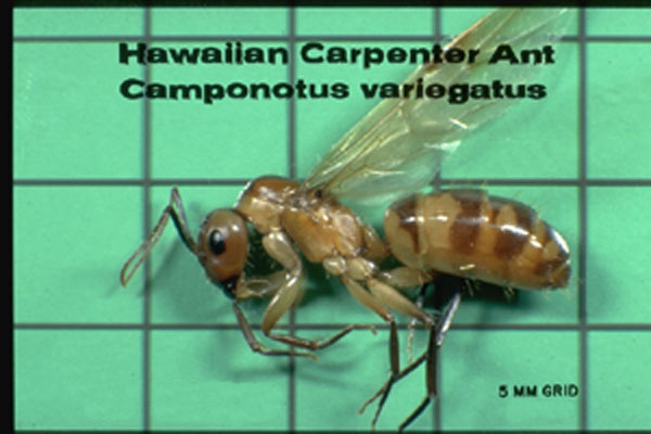 Hawaiian Carpenter Ant