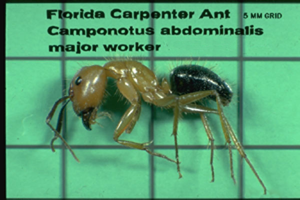 Florida Carpenter Ant