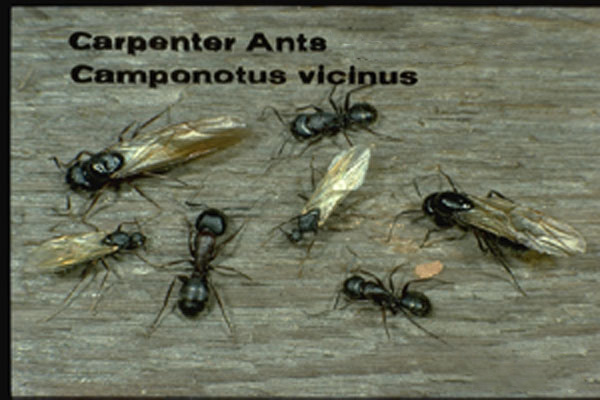Western Black Carpenter Ant